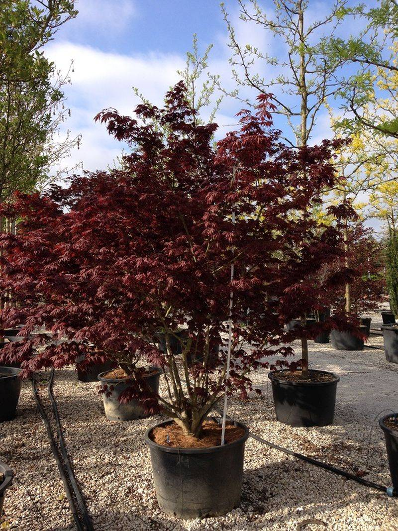 Acer palm. Bloodgood c 180 200-250